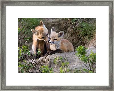 Fox Kits Canada Framed Print by Mark Duffy