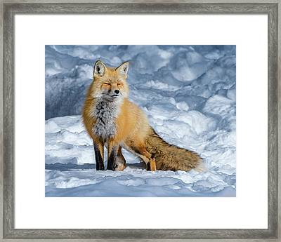 Fox On A Winter Afternoon Framed Print