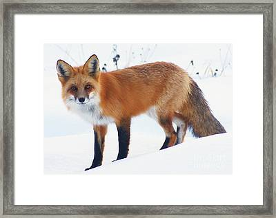 Fox On The Prowl Framed Print