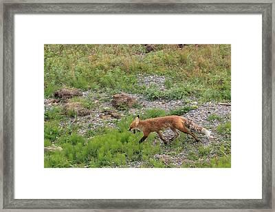 Fox On The Run Framed Print by David Wilkinson