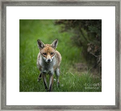 Fox Framed Print by Philip Pound