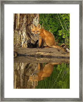 Fox Reflection Framed Print by James Peterson