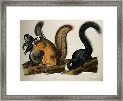 Fox Squirrel Framed Print by John James Audubon