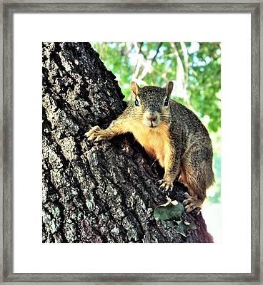 Fox Squirrel Framed Print by Michael Dillon