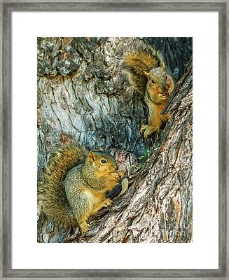 Fox Squirrels Framed Print by Robert Bales