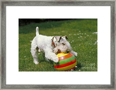Fox Terrier With Ball Framed Print by Frederick Ayer III