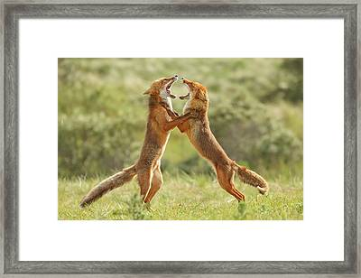 Fox Trot - Fighting Red Foxes Framed Print