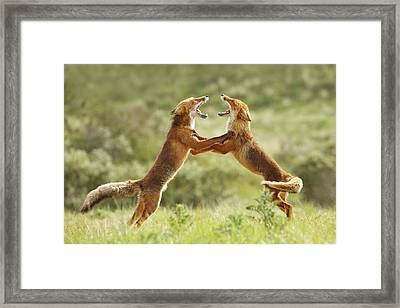 Fox Trot - Red Foxes Fighting Framed Print by Roeselien Raimond