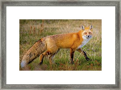 Fox Trot // Yellowstone National Park  Framed Print