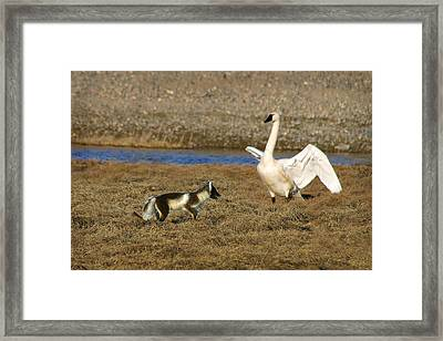 Fox Vs Swan Framed Print