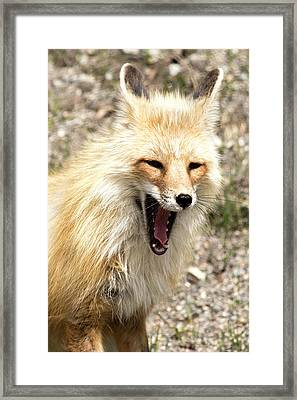 Fox Yawn Framed Print