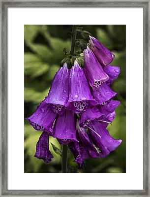 Foxglove And Rain Drops Framed Print