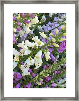 Foxglove Fancy Framed Print by Carol Groenen