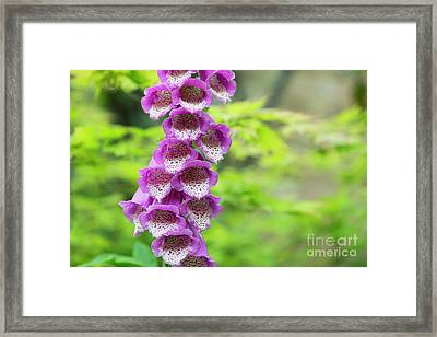 Foxglove Flowering Framed Print by Tim Gainey