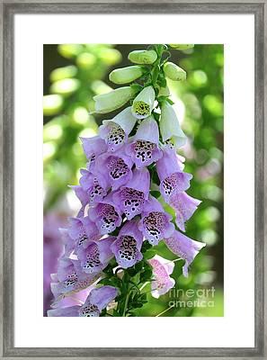 Foxglove Flowers Framed Print by Carol Groenen
