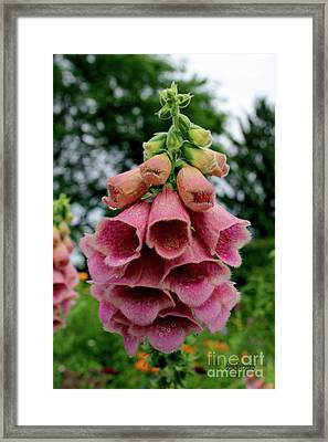Foxglove Flowers Framed Print by Corey Ford