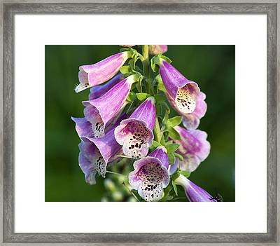Foxglove For Artemis Framed Print by Kenneth Albin