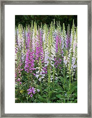 Foxglove Garden - Digital Art Framed Print