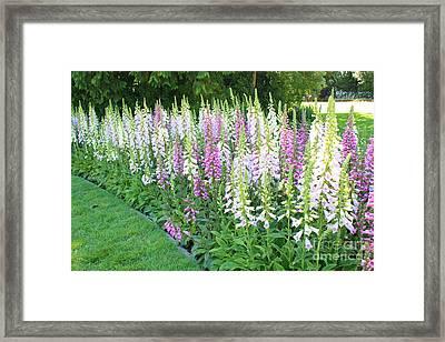 Foxglove Garden Framed Print by Carol Groenen