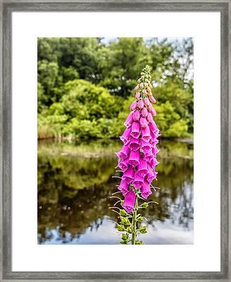 Foxglove In Flower Framed Print