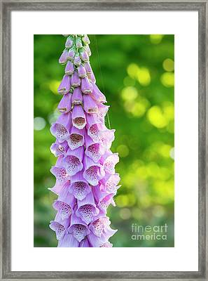 Foxglove Light Framed Print by Tim Gainey