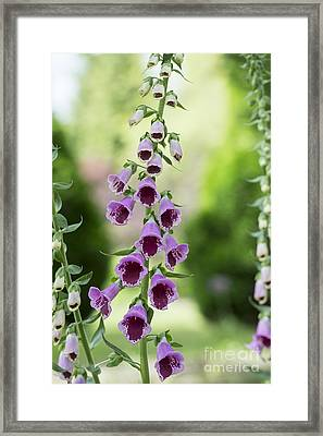 Foxglove Sugar Plum Framed Print by Tim Gainey