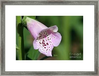Foxglove Framed Print by Teresa Zieba