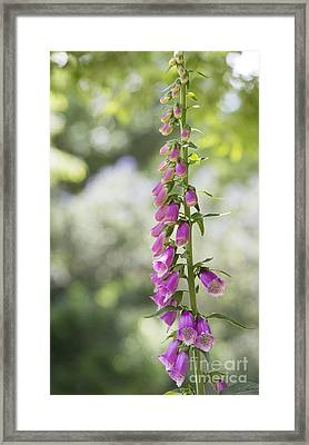 Foxglove Framed Print by Tim Gainey