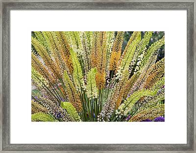 Foxtail Lilies Framed Print by Tim Gainey