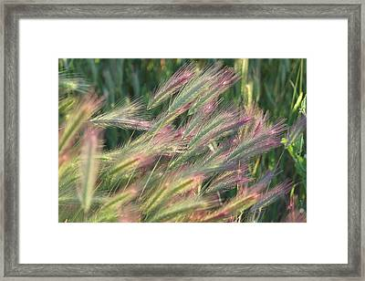 Foxtails In Spring Framed Print by Michele Myers