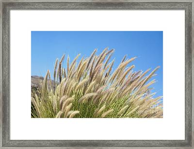 Foxtails On A Hill Framed Print