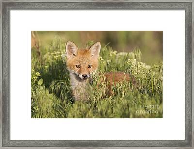 Foxy Framed Print by John Blumenkamp