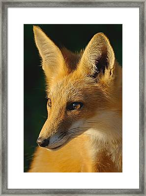 Foxy Lady Framed Print by William Jobes