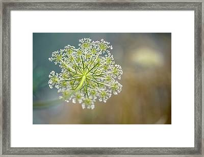 Fragile Dill Umbels On Summer Meadow Framed Print