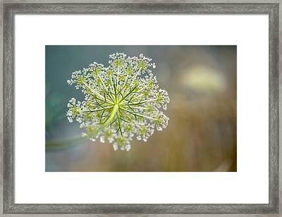 Fragile Dill Umbels On Summer Meadow Framed Print by Nailia Schwarz
