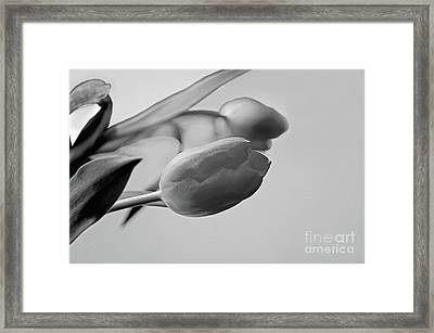 Framed Print featuring the photograph Fragile Tulips by Jacqi Elmslie