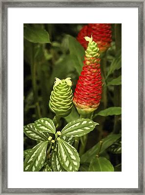 Fragrant Red Framed Print by Carolyn Marshall