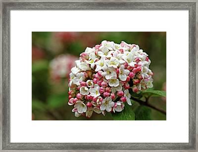 Fragrant Snowball Framed Print