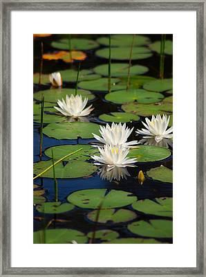 Fragrant Water Lily Framed Print by Christine Savino
