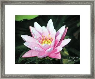 Frail Beauty - A Water Lily Framed Print