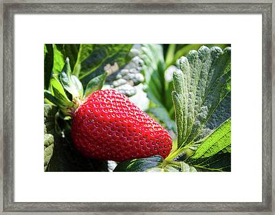 Framed Print featuring the photograph Fraise by Alison Frank
