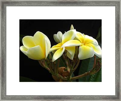 Frangipani Blossoms Framed Print by Frederic Kohli