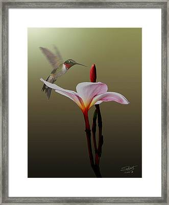 Frangipani Flower And Hummingbird Framed Print