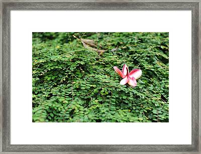 Frangipani Flower Framed Print by Jessica Rose