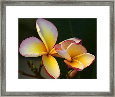 Frangipani Flowers Framed Print by PIXELS  XPOSED Ralph A Ledergerber Photography