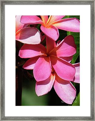 Frangipani Framed Print by Mini Arora