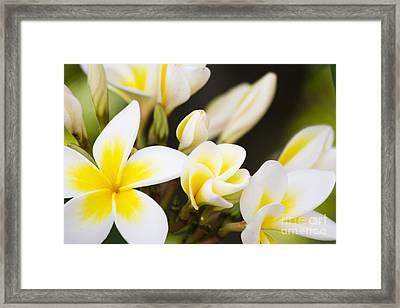 Frangipani Framed Print by Jorgo Photography - Wall Art Gallery
