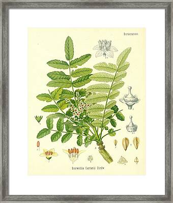 Frankincense Framed Print by German School
