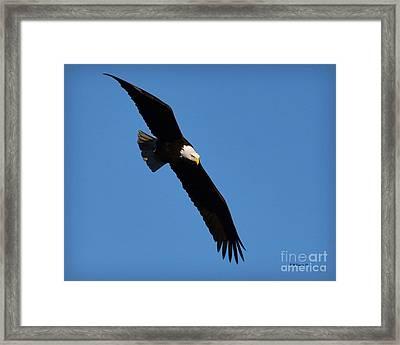 Free Flying Bald Eagle Framed Print