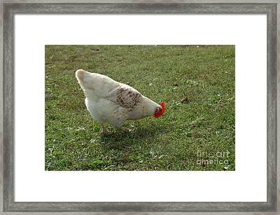 Free Range Chicken Framed Print by John Kaprielian